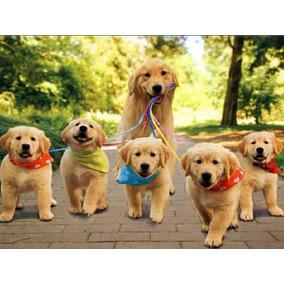 Golden Retriever Cachorros Aceptamos Todos Los Medios D Pago