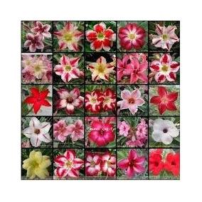 55 Sementes Rosa Do Deserto