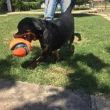 Cachorros Rottweiler Con Certificado Pedigree