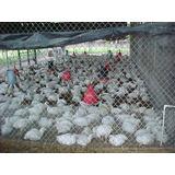 Pollos Semicriollos De 4 Libras En Adelant $3500lbrae