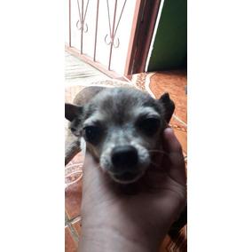 Se Cambia Perrito Chihuahua Por Un Celular