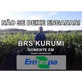 Kurumi 330 Mudas Original Viveiro Credenciado Embrapa