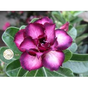 30 Sementes Rosa Do Deserto Adenium Obesum Mix 30 Cores
