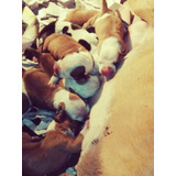 American Staffordshire Terrier Cachorros Full Pedigri