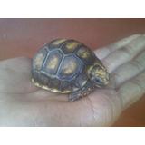 Tortuguitas (morrocoy)