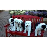 Lindos E Adoráveis Filhotes De Sheep Dog