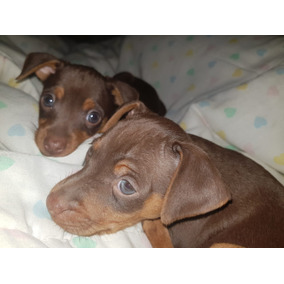 Se Venden Cachorros Doberman Pinscher Pincher Cafe Chocolate
