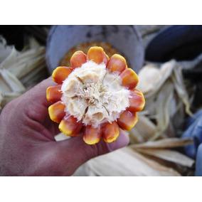 Milho Tipo Cunha Crioulo Tradicional 20 Sementes Para Mudas