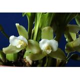 Orquideas (lycaste Luminosa)