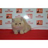 Gatos Persas Exoticos Miralos Enamoran!!!