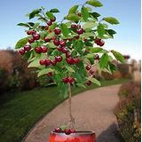 20 Sementes Cereja Bonsai Fruta Orgânica Raro