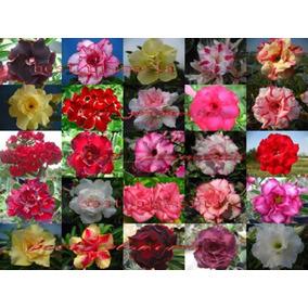 Kit 50 Sementes Rosa Do Deserto Adenium Obesum 30 Cores