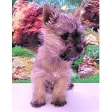 Cairn Terrier Cachorros En Adopción