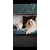 Vendo Cachorra Bichon Maltes Pura. Nacio El 18 De Enero,