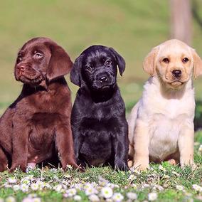 Labrador Cachorro Macho