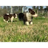 Cachorro Border Collie!!criadero Barriga Negra !