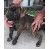 Cachorro Labrador Atigrado