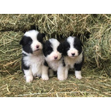 Border Collie Cachorros Finisimos