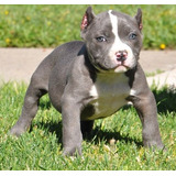 Cachorros De Pitbull De 12 Semanas De Edad