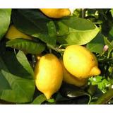 Frutales Limonero De Todo El Año 1.70 M Altura