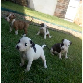 Filhotes Pitbull Americano Preto Cachorros De Raça No Mercado