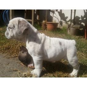 Bulldog Ingles Hembra Y Machos Excelente Linea De Sangre !!!