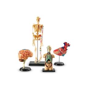 Modelo Anatómico Set 4 Cerebro Humano Esqueleto B4u Msi