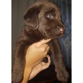 Cachorros Labrador Chocolate Machos Y Hembras