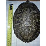 Tortugas Semi Acuaticas