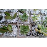 Plantas Tunas Decorativas Ideales Souvenirs