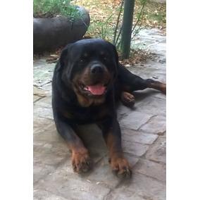 Criadero Mis Retoños: Cachorros Rottweiler 90 Días