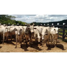 Gado Nelore - 27 Vacas, 1 Touro E 7 Bezerros No Pé