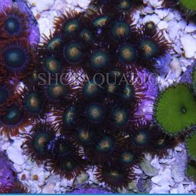 Coral Zoanthus Gorilla Niples Peça Com 3pp