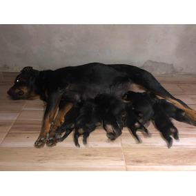 Cachorros De Rotwailer