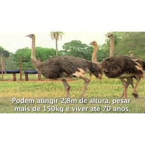 Filhotes Avestruz