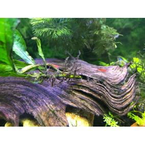 Camarão Neocaridina Para Aquario Água Doce