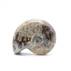 Amonite Fossil Petrificado Jurássico Madagascar Shell