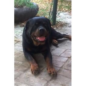 Criadero Mis Retoños: Cachorros Rottweiler