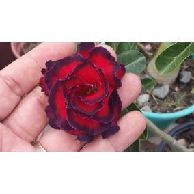 Rosa Do Deserto Tf - Cor 100% Garantida Dobrada Tripla