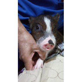 Mini Pig Disponible