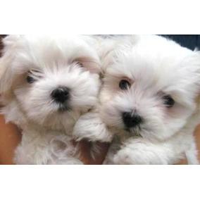 Hermosos Cachorros Raza Bichon Maltes