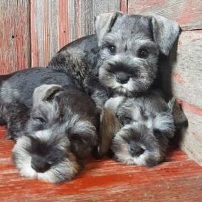 Schnauzer Minis Cachorros Preciosos