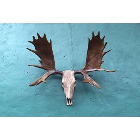 Animales Disecados 100% Artificiales Cornamenta Alce (moose) bd8ac8c4db93