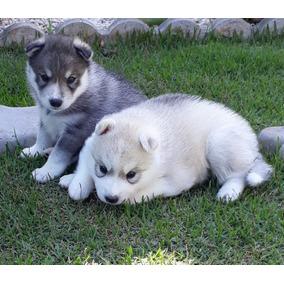 Filhotes Husky Siberiano