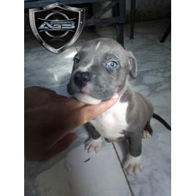 Cachorros Pitbull Blue ( Disponible)