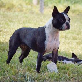 Filhotes De Boston Terrier, Linhagem Importada.