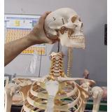 Esqueleto Humano, Con Soporte Y Ruedas 1,70 Mts. En 12 Cuota