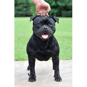 Cachorros Staffordshire Bull Terrier Staffy