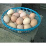 Huevos Fertil Para Incubar. Gallina Campo Mezcla De Raza
