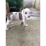 Filhotes De American Pit Bull Terrie Com Pedigree